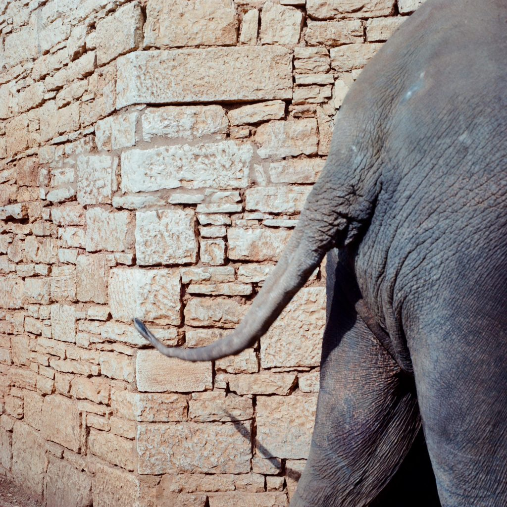 Mad elephant,, Brijuni, 1993