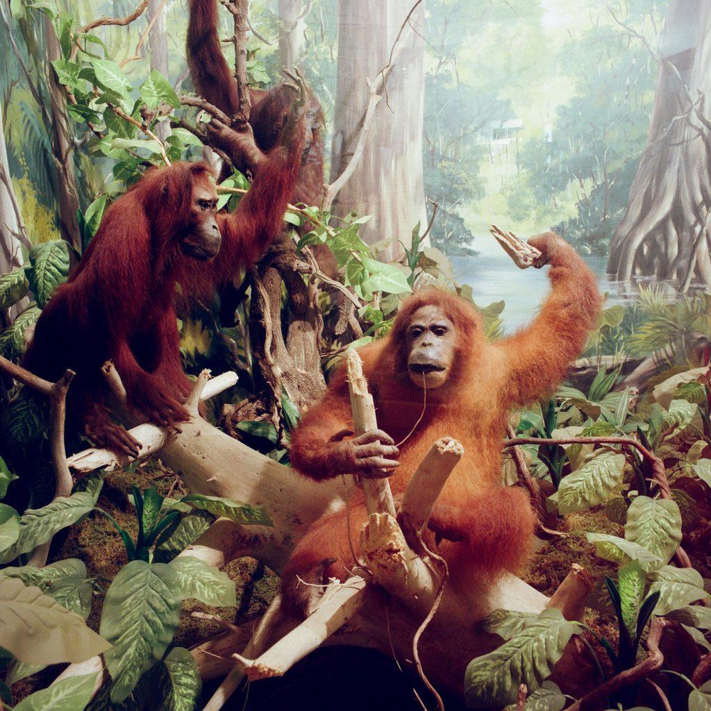 Orangutans, Brijuni, 1993