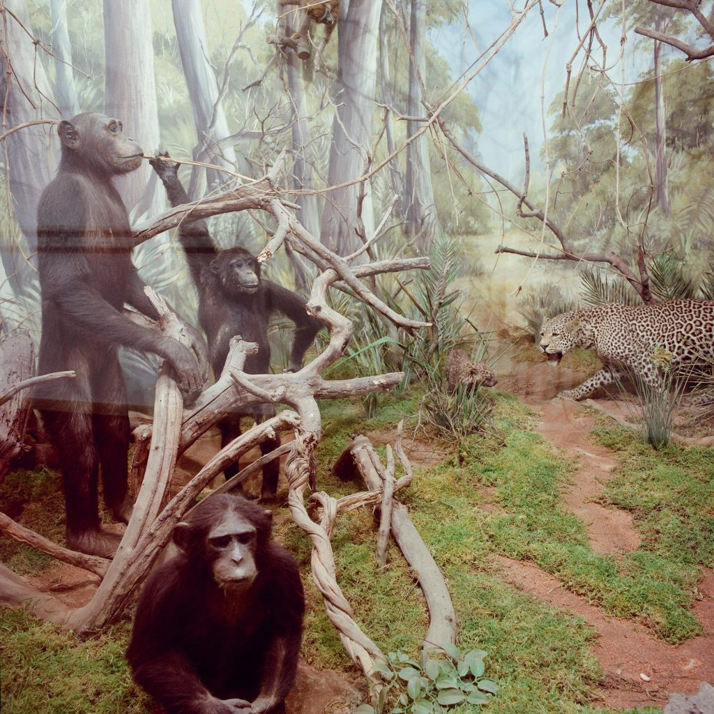Chimpanzees, Brijuni, 1993